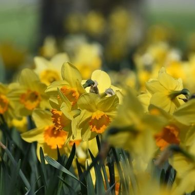 Glorious Shades of sunny Yellow from this group of daffodils