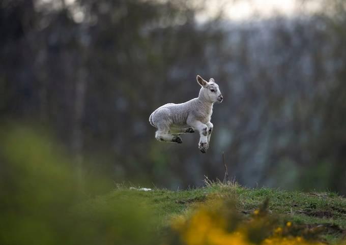 lamb 1 by davidianhiggins - Social Exposure Photo Contest Vol 21