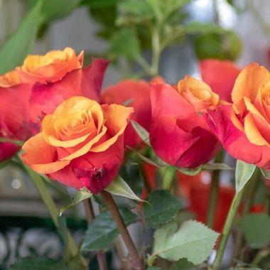 rose-1641