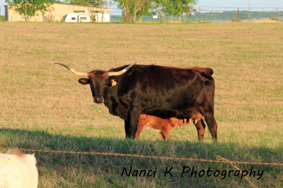Momma longhorn