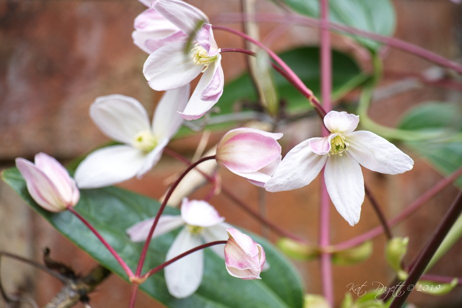 I love these sweet , early blooming Clematis. Finally, last year I made a spot near the wall and ...