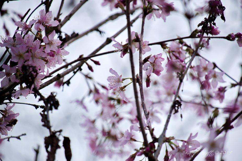 Cherry Blossom Fairies