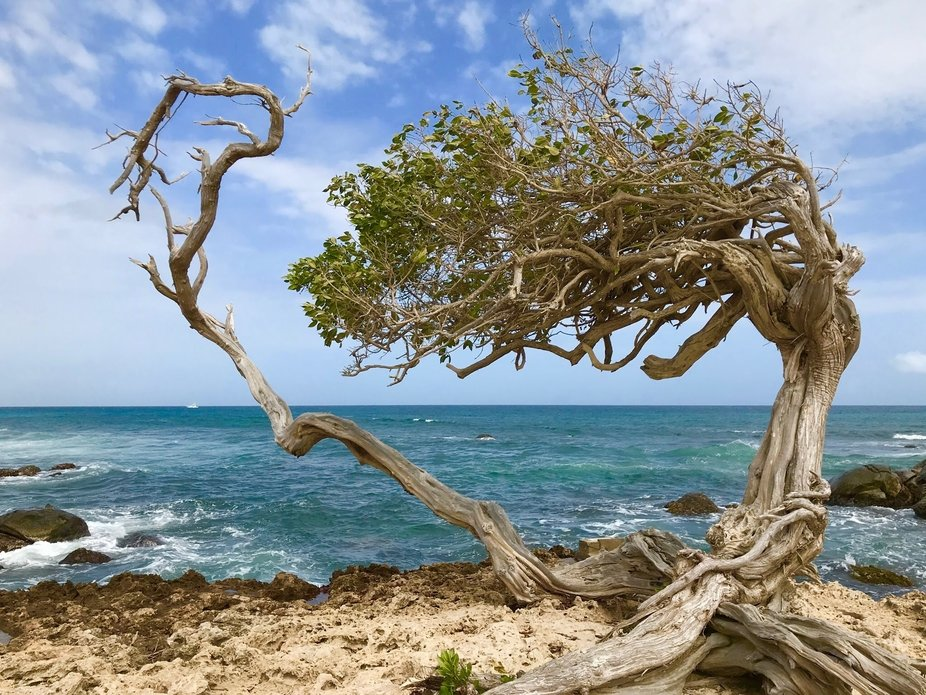 A libidibia coriaria tree overlooking the coast of Aruba. More commonly refered to as the Divi-Di...
