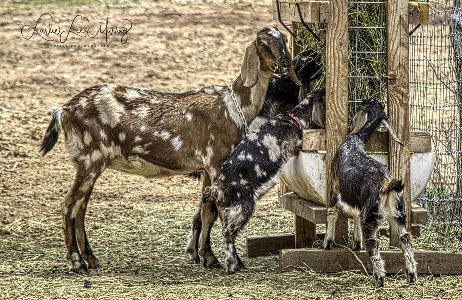 these little beauties and their momma belong to my daughter in Utah - she has a business making goat cheese, soaps and lotions - momma is smiling (and eating) so proud of her new kids (2 girls and a boy)