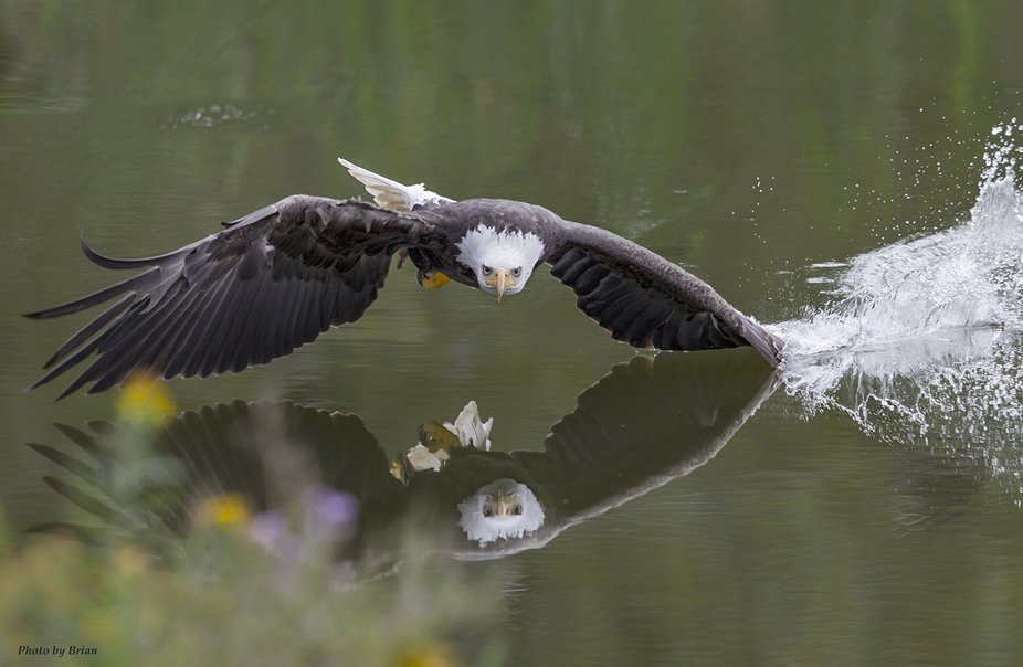 Bald Eagle low across the river with a wing dip..