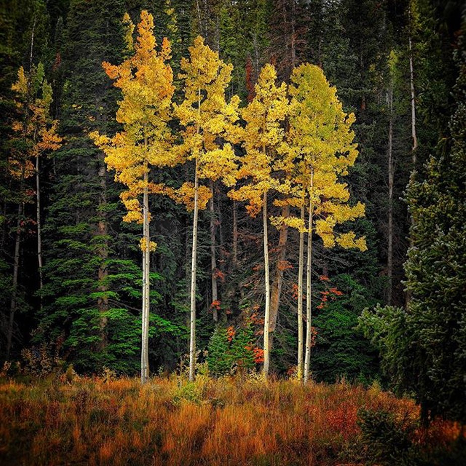 Aspen Grove at the peak  by timboten - Image Of The Month Photo Contest Vol 44