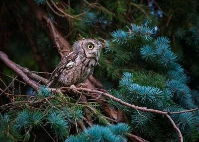 Eastern Screech owl hunting