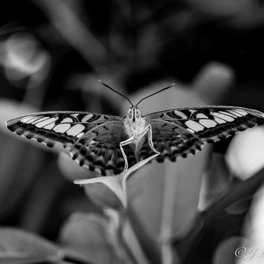 Butterfly B&W 3