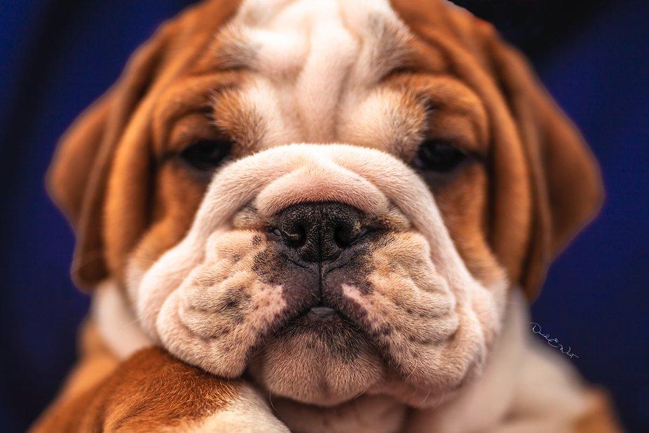 6 week old bulldog amazingly cute
