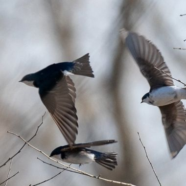 Tree Swallows taking flight to and from small trees near large pond:  their happy hunting ground.   DSC_3169