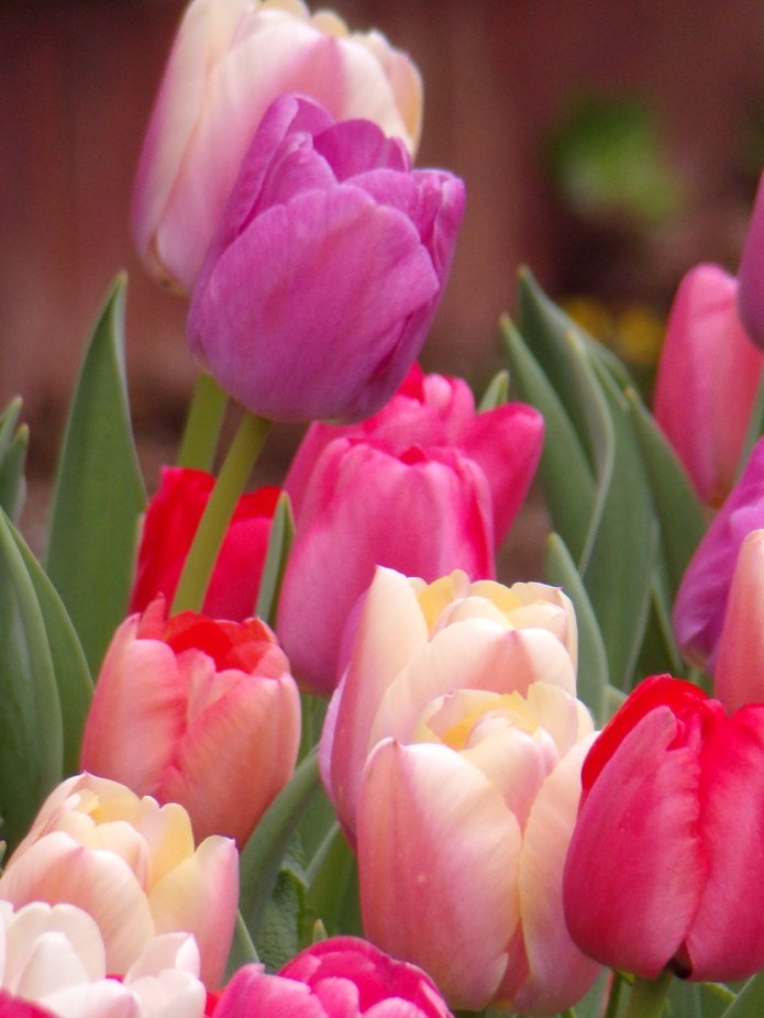 Lovely Pastel Tulips