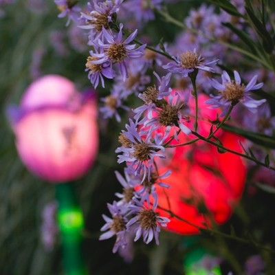 Lilac Aster and Light