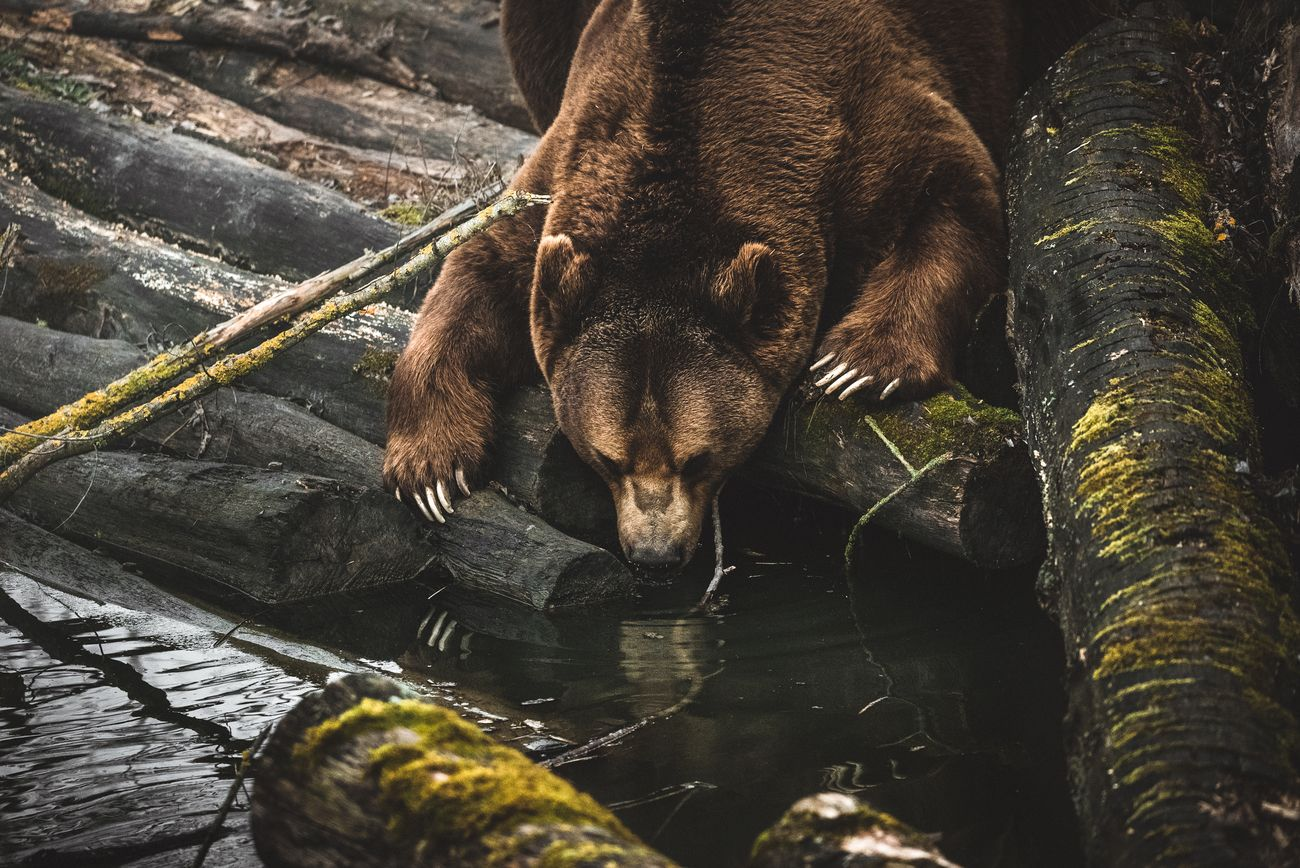 A drinking bear
