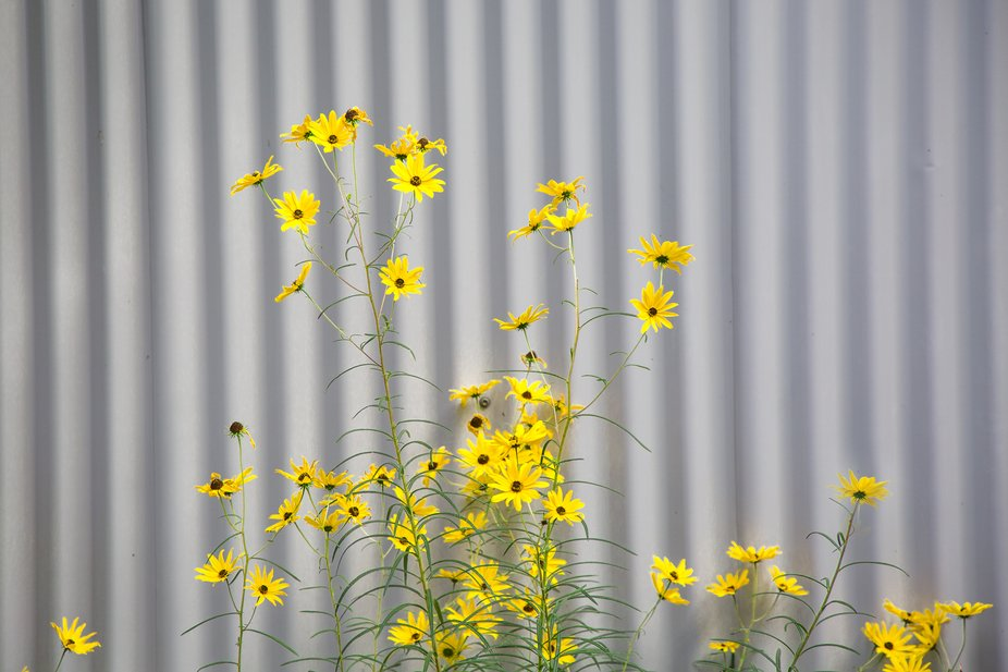 Bright yellow flowers growing against a shed