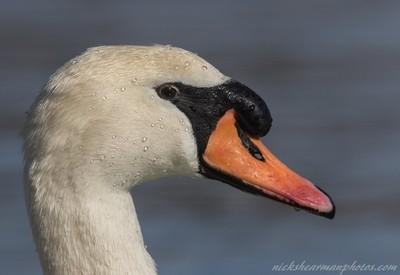 _MG_5317-Portrait of a Mute Swan