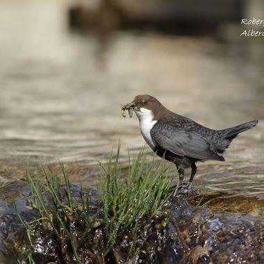 Mirlo acuatico (Cinclus cinclus), pajaro totalmente buceador (Se alimenta de insectos subacuaticos). Se encuentra en los rios de alta montaña,donde el agua no esta contaminada.