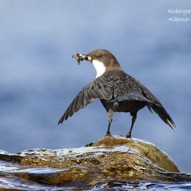 Mirlo acuatico, con alimento para sus pollos, en el momento de lanzarse al nido.