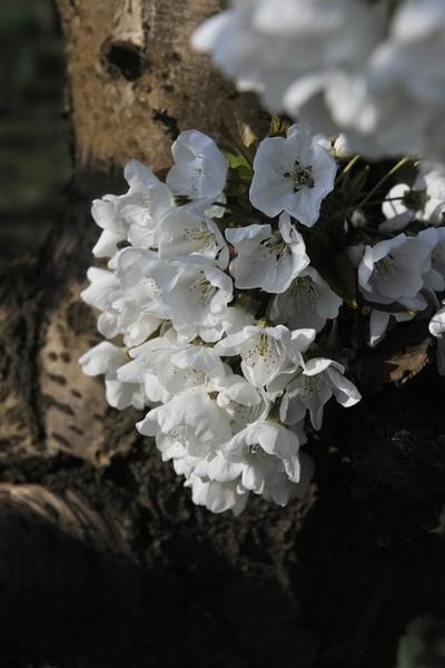 Blossom8558.JPG