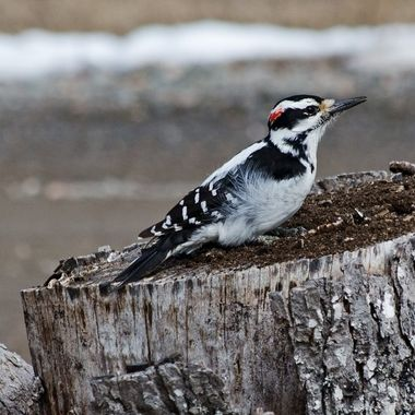 A male hairy woodpecker working on an old stump.