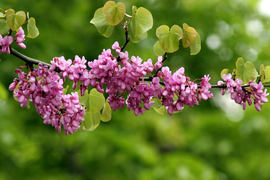 Lilac branch with bokeh