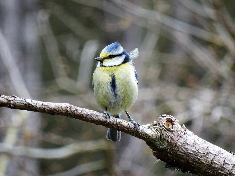 Lovely cute blue tit looking a little ruffled but perfectly composed