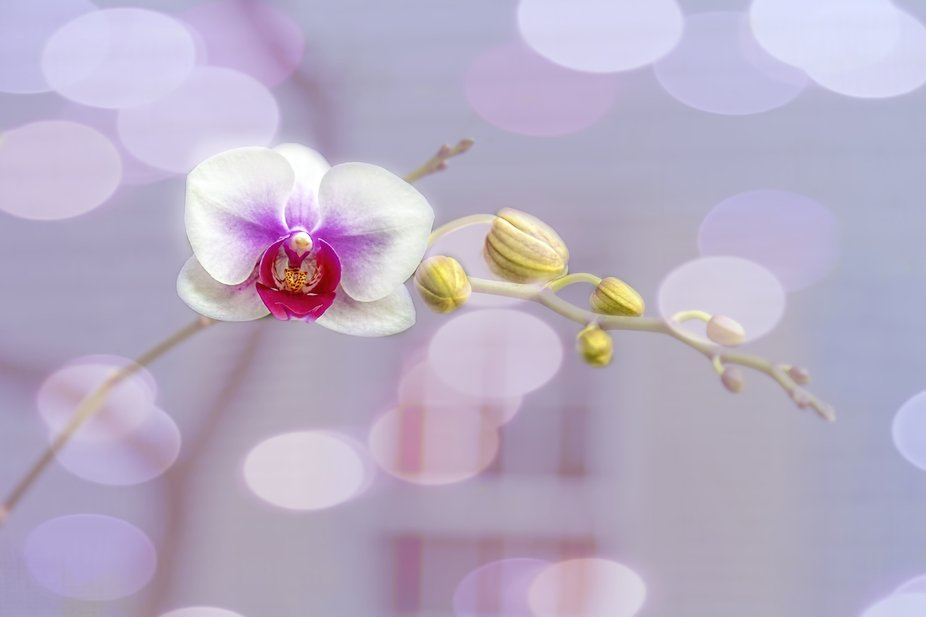No flower says elegance like the orchid.        Cymbidium or boat orchid is a genus of 52 evergre...