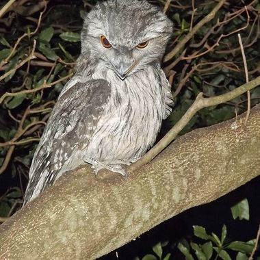 Angry frogmouth