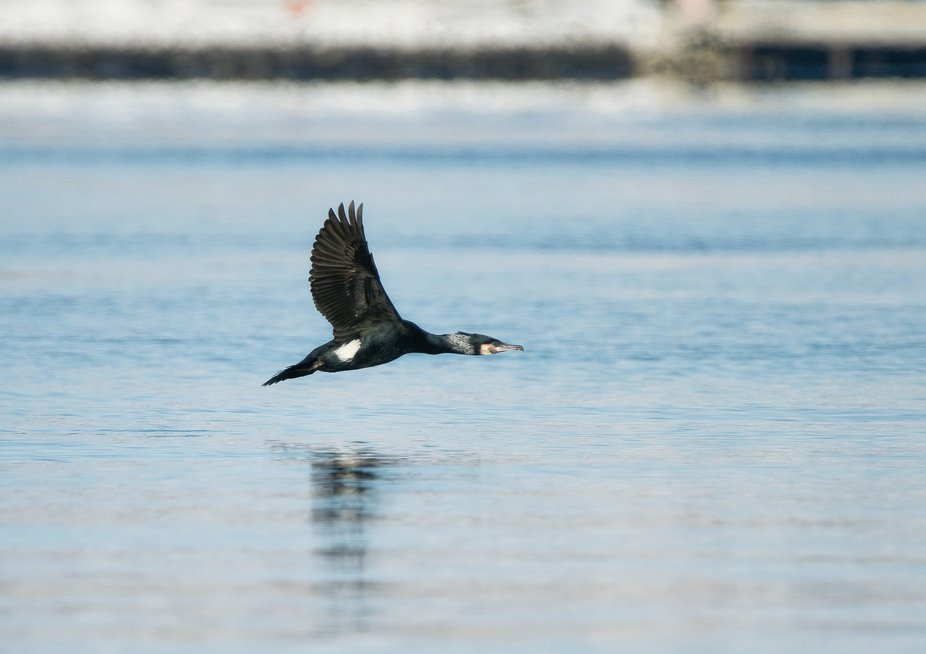 Cormorant in my home town.