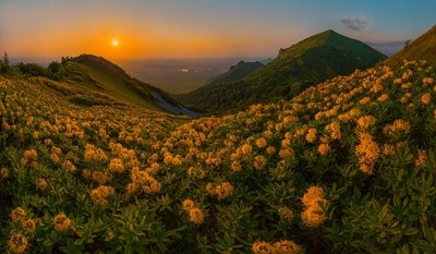Golden flowers - rhododendrons.