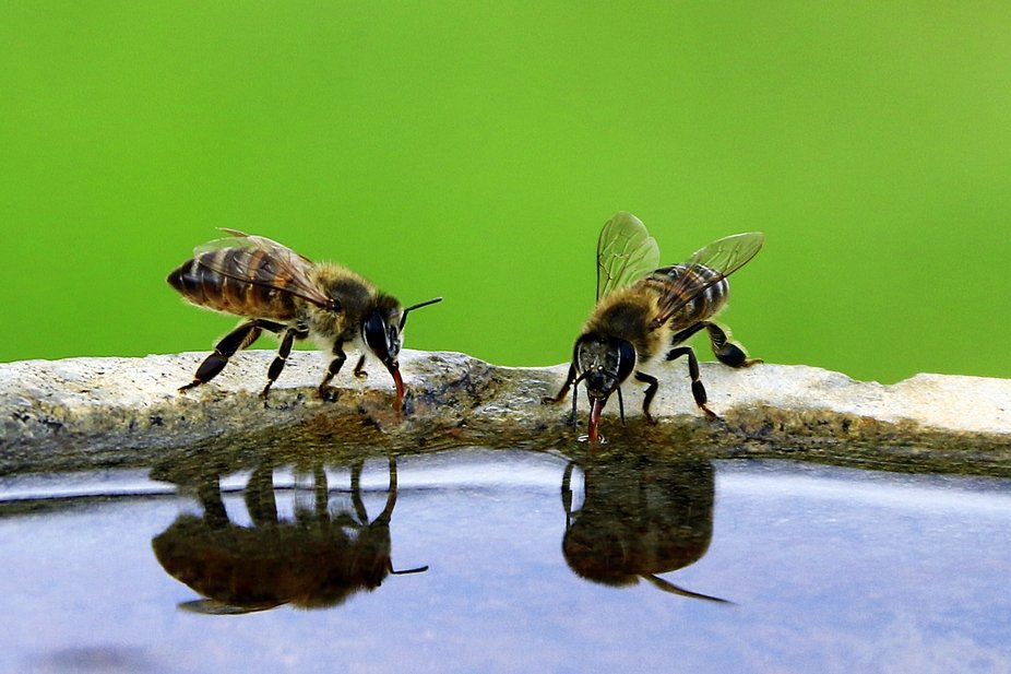 Bees from next door drinking water at the bird bath