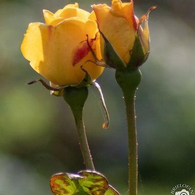 rose-4849
