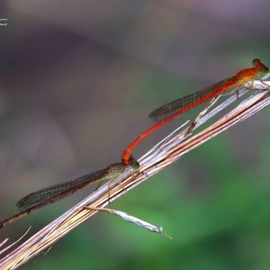 Orange Damselfly mating