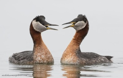 _MG_8464-Red Necked Grebes greeting each other