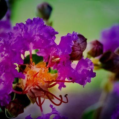 Lavender Crepe Blossoms