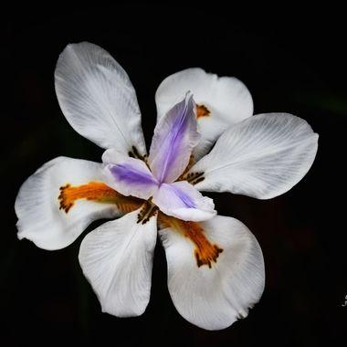African Iris in Bloom