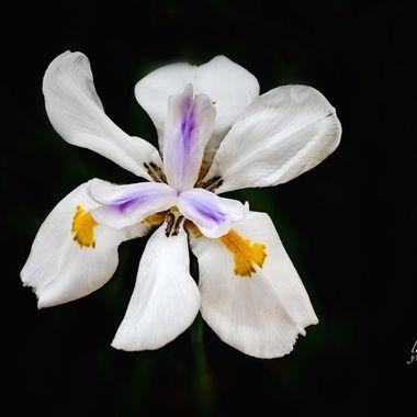 African Iris in Depth