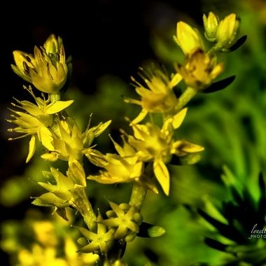 Angel Sedum Blossoms