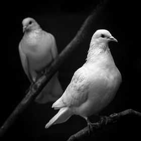 Two rescued doves turned into a low-key lighting portrait.