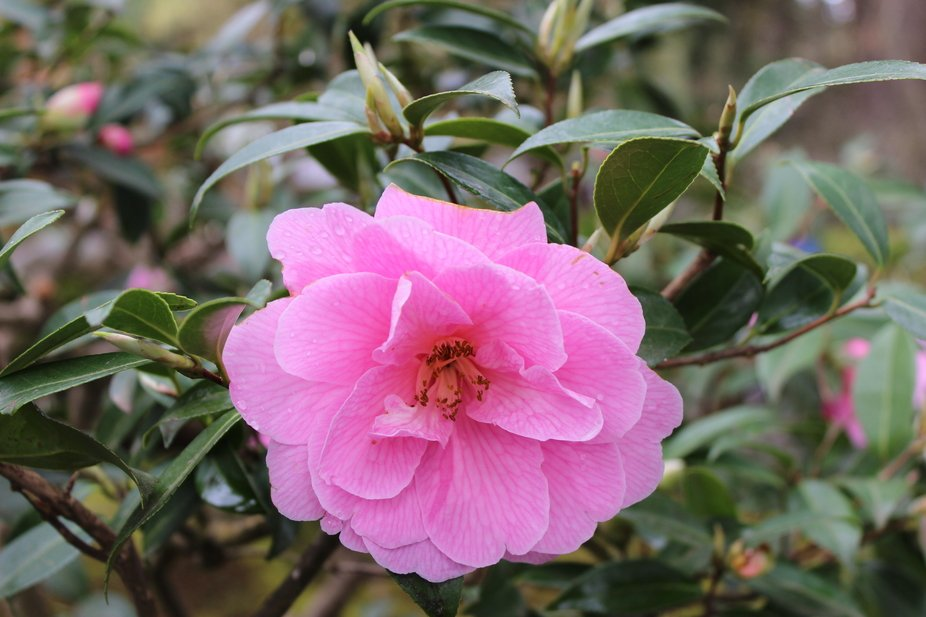 This is a beautiful flower that I found at the Japanese Garden in Portland.  it is very beautiful...