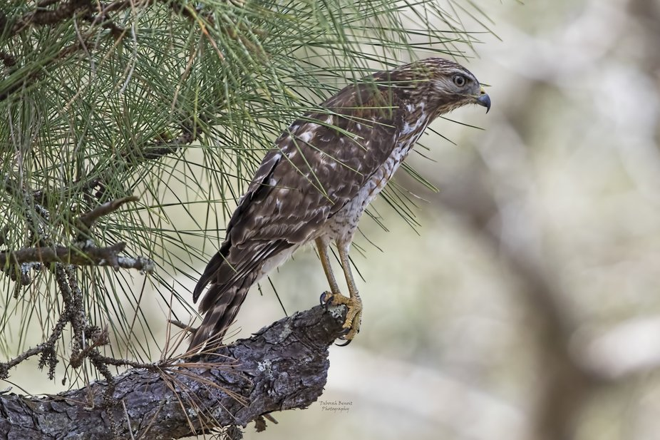 Hawk Pose