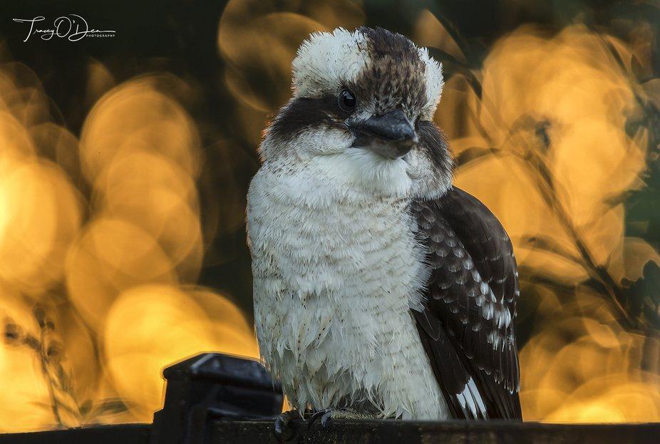 Kookaburra at sunrise