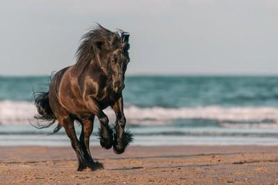 A fell pony canters across the beach.