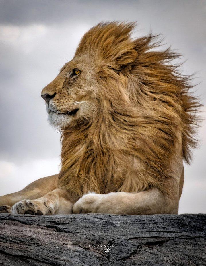 Lion king.jpeg by francescabullet - Fantastic Felines Photo Contest
