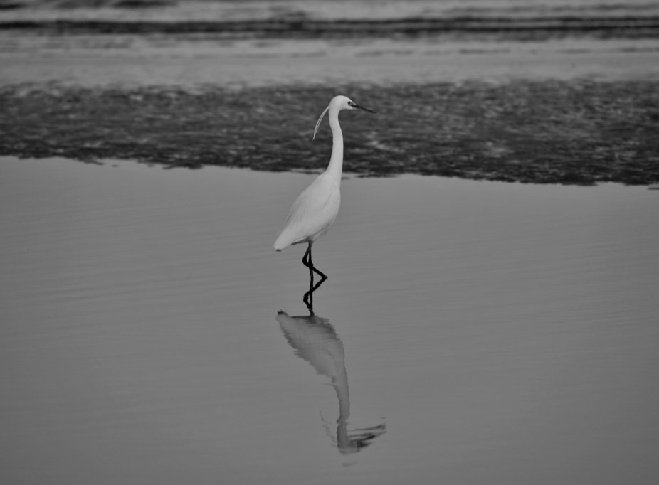 This picture was taken at Qurum Beach in Muscat where this bird was really standing in the same p...