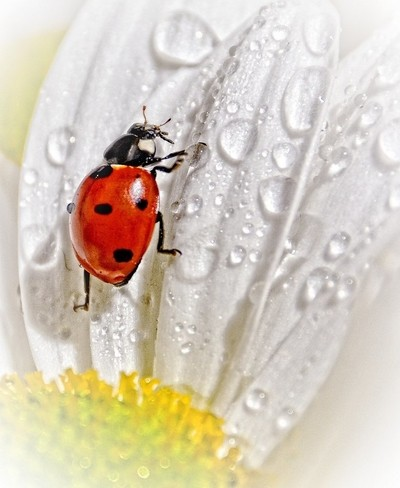 Ladybug In The Rain