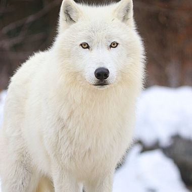 Grayson is a male Artic subspecies of the Gray Wolf and member of the International Wolf Center in Ely, MN