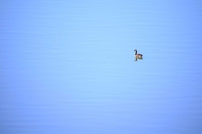 Canada Goose_Ark_river.JPG