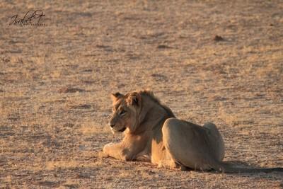 Lioning Around