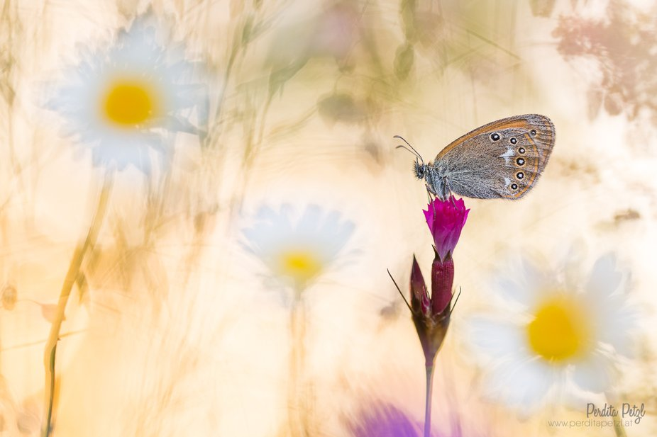 A chestnut heath (Coenonympha glycerion) in a meadow full of daisies. Shot in the early morning. ...