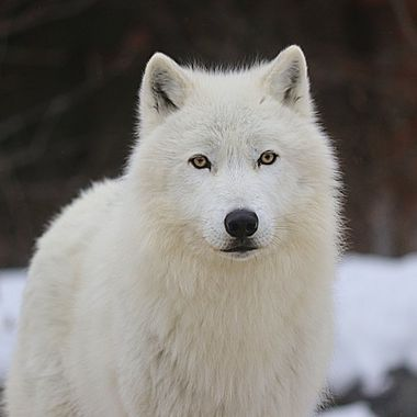 Axel is a male Arctic subspecies of the Gray Wolf and member of the Ambassador Pack at the International Wolf Center in Ely, MN